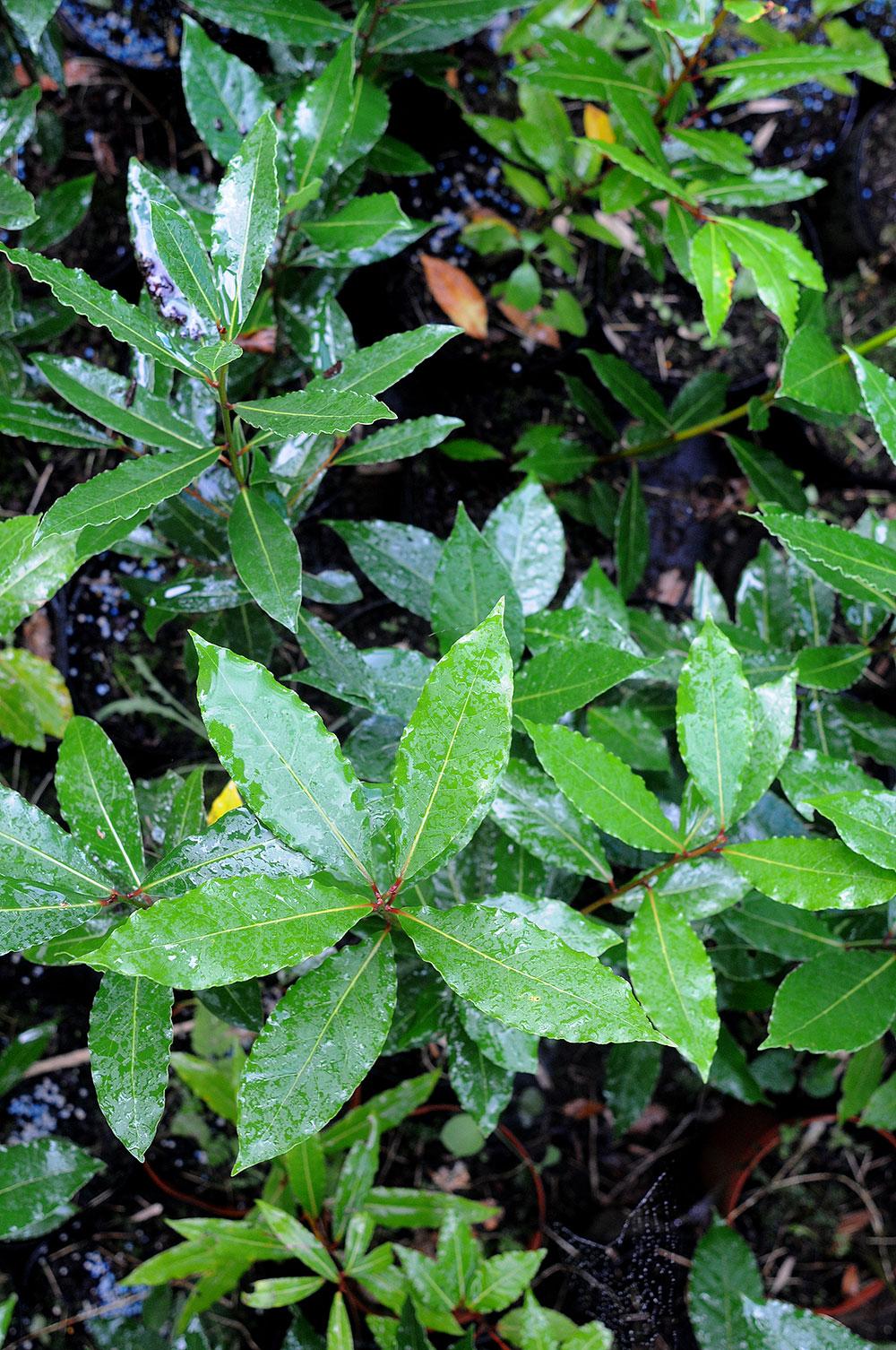 boibel plante ornementale