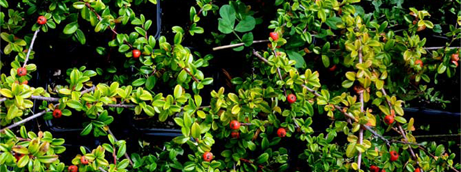 Boibel plante ornementale for Plante ornementale